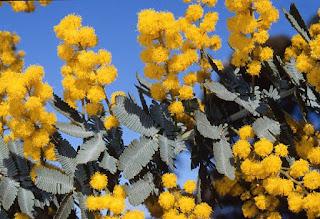 Gambar Bunga Akasia yang Indah 21