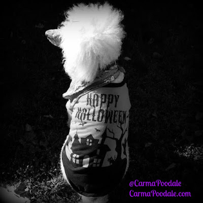 Poodle in her Halloween shirt
