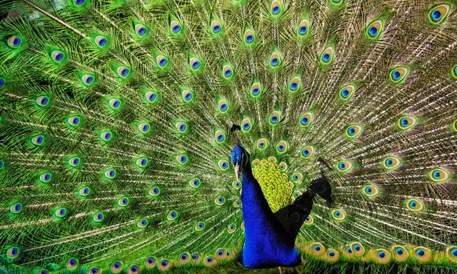 Blue and Green Peacock HD Copyright Free Image