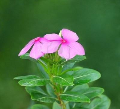 Boa Noite Catharanthus Roseus Natureza Bela