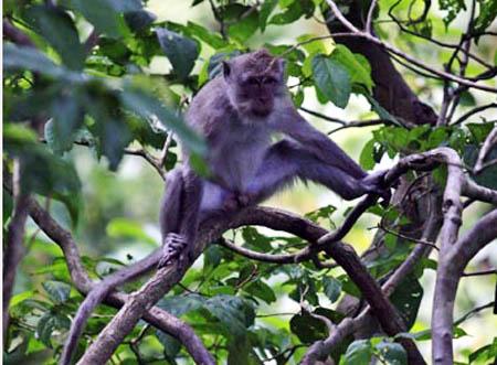 Perbedaan monyet dan gorila