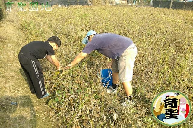 紅豆自然乾燥枯黃期17週