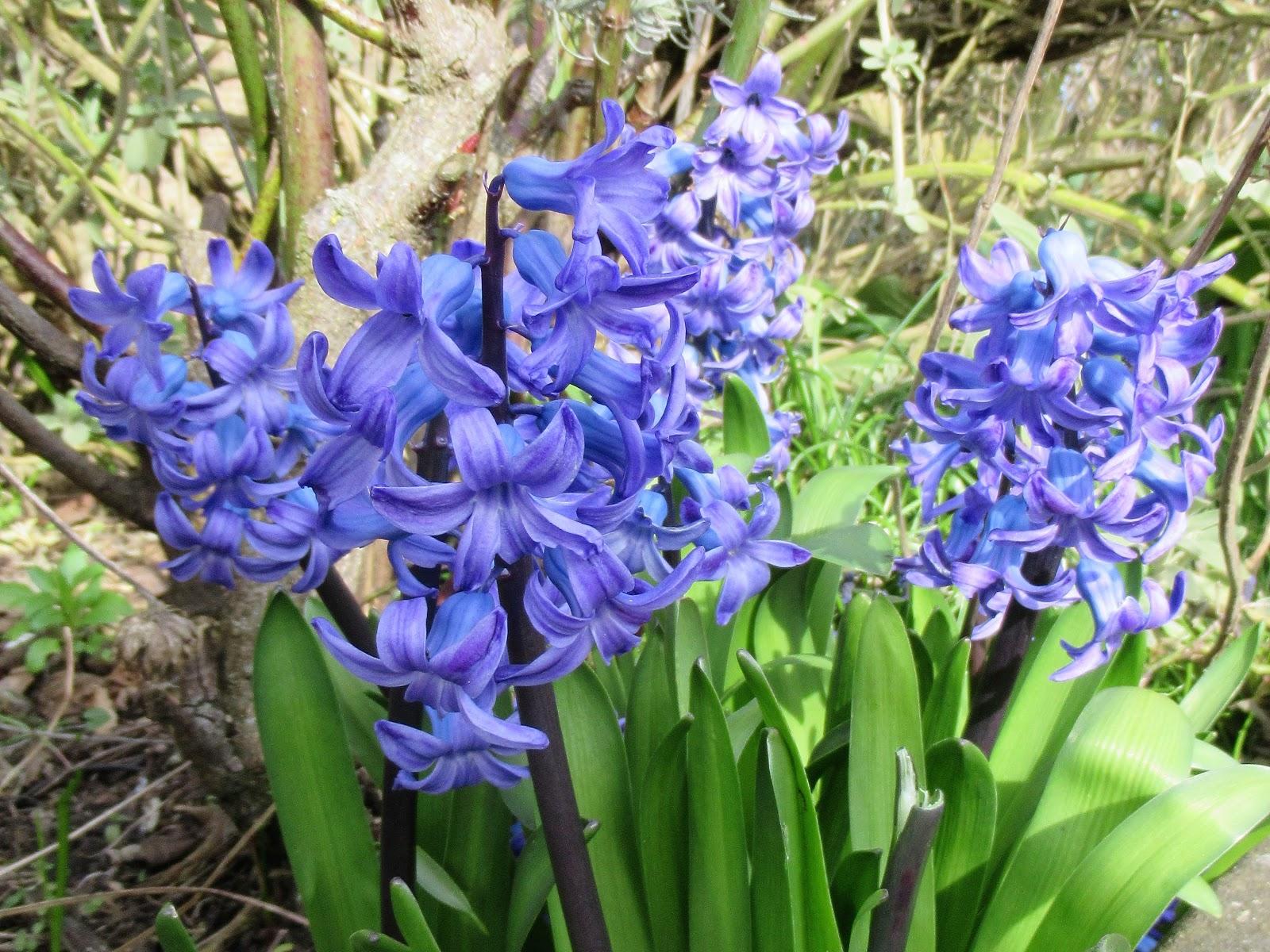 Martin Brookes Oakham Rutland England Spring Flowers Bluebells And
