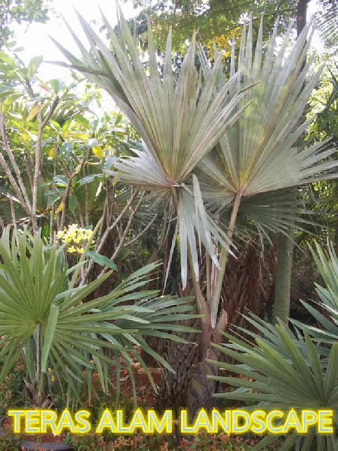pohon palm bismarkia silver
