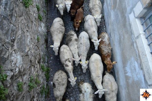 Pastore con il suo gregge attraversa l'abitato di Scanno