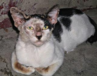 Penyakit Kucing Yang Dapat Menular Pada Manusia