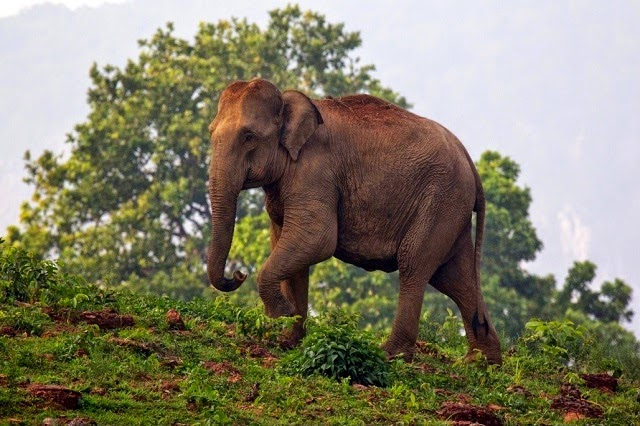 Elephant at Simlipal National Park,Orissa
