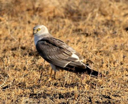 Indian birds - Image of Pallid harrier - Circus macrourus
