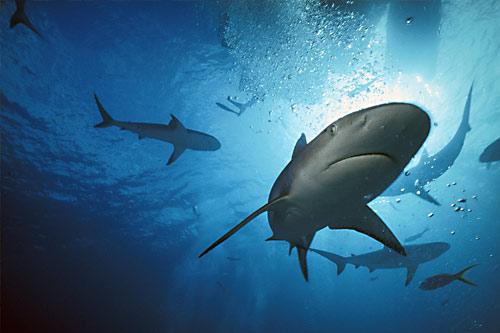 Gambar Ikan Hiu Yg Keren