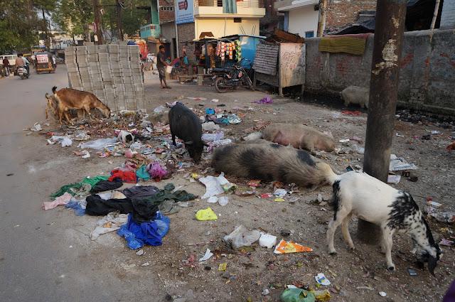 Babi, Kambing serta sapi bebas berkeliaran di Varanasi