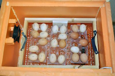 Яйца внутри самодельного инкубатора