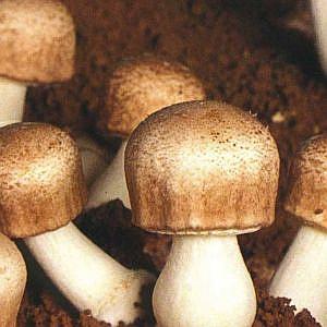 andosan mushroom drink
