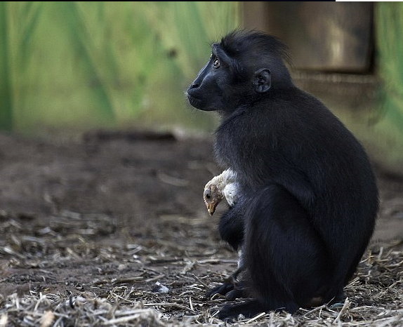 Monkey adopts baby chicken at Israel Safari Zoo