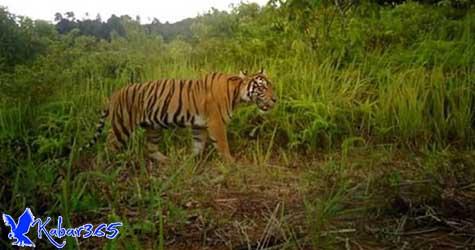 Penampakan Sepasang Harimau yang Muncul di Aceh Selatan