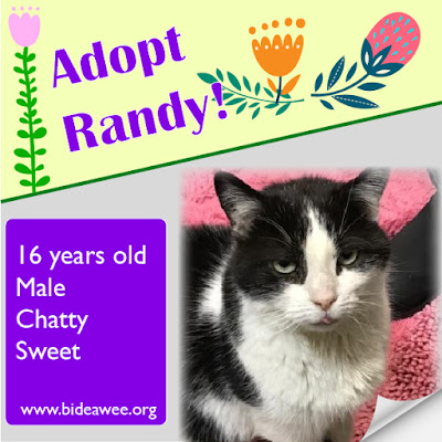 Adopt Randy the cat, Bideawee Westhampton