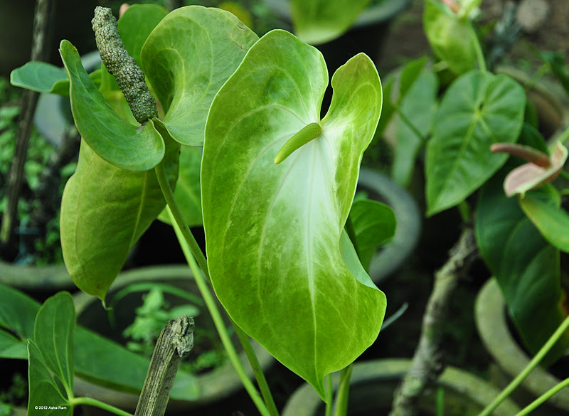 Anthurium plants in bangalore dating 10