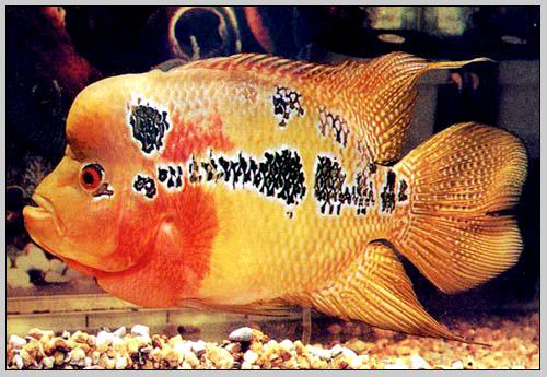 Cara Budidaya Ikan Kriteria Dan Ciri Ikan Louhan Untuk Kontes