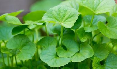 cara mengkonsumsi daun pegagan, manfaat daun pegagan untuk wajah, manfaat daun pegagan untuk otak, efek samping daun pegagan, daun pegagan tumbuh dimana, manfaat pegagan untuk kesuburan, nama lain daun pegagan, daun pegagan untuk jerawat