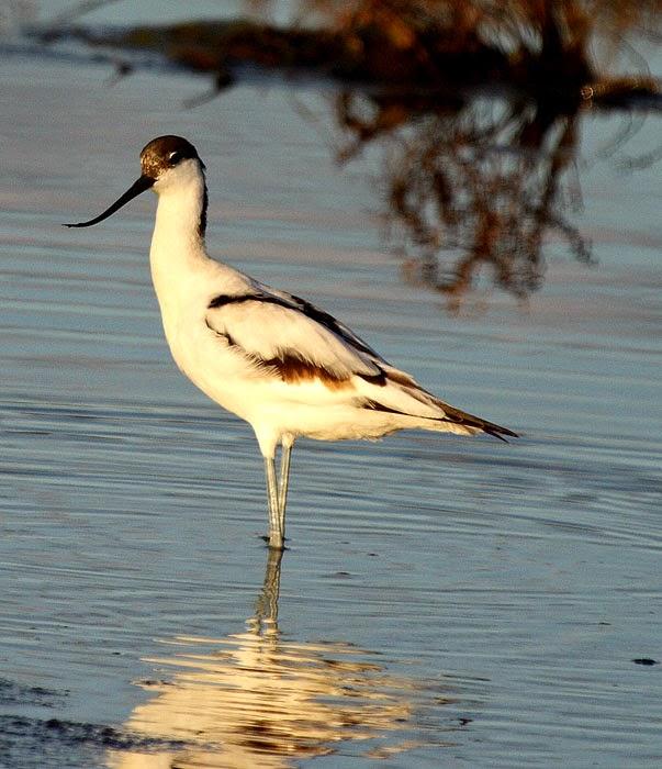 Avoceta (Recurvirostra avosetta)