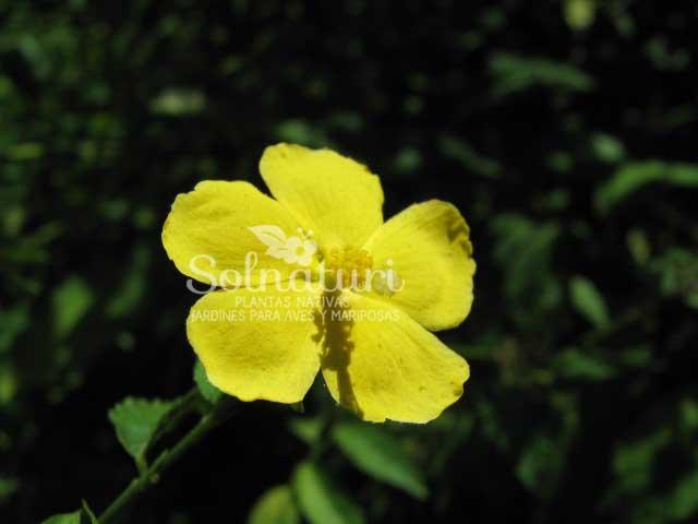 Pavonia sepium  Malva de monte