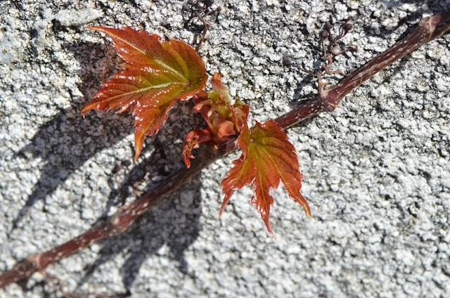 Naissance de feuilles de vigne rouge