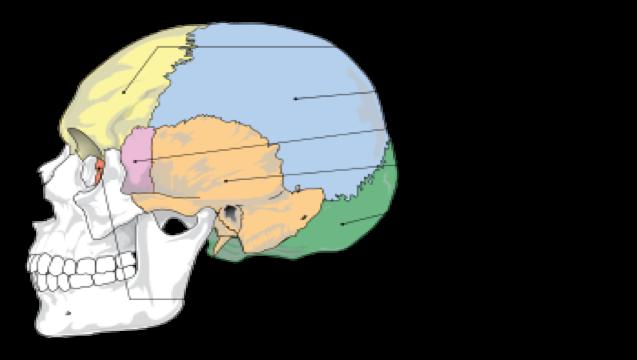 Practico 2 : Osteología de la Cabeza