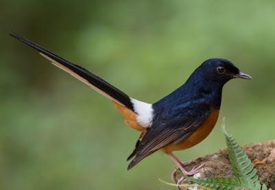 Tips Supaya Burung Murai Batu Bongkar Isian Pada Saat Lomba Berlangsung
