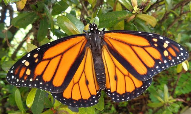 Male monarch butterfly