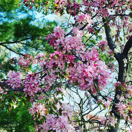 image of a tree with pink blooms