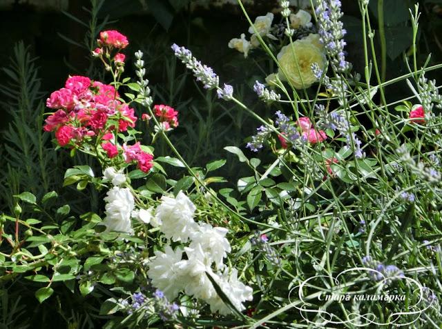 розы, английские розы, остинки, розы Дэвида Остина, розарии