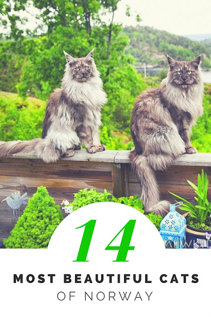 most beautiful cats of norway