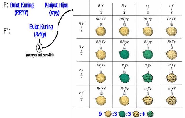 Persilangan dihibrid menghasilkan perbandingan fenotipe 9 bulat kuning : 3 bulat hijau: 3 keriput kuning: 1 keriput hijau.