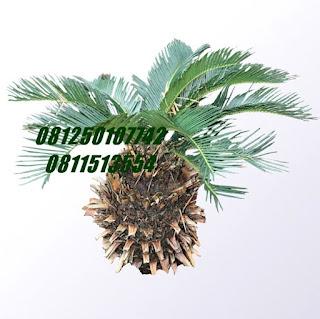 Palm Sikas | Jasa Tukang Taman Surabaya