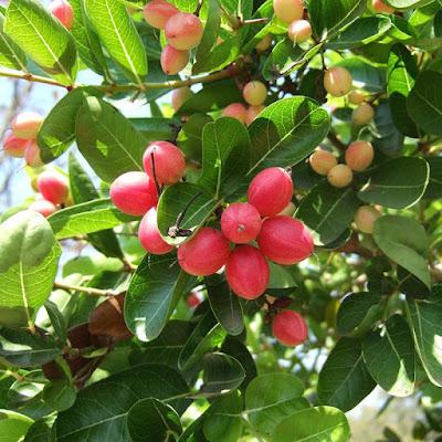 Carissa carandas L. (Apocynaceae)