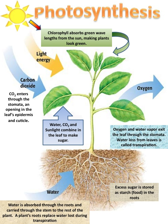 Photosynthesis and Cellular Respiration - ThingLink