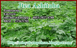 tanaman/daun ashitaba (komposisi Jtea AShitaba)