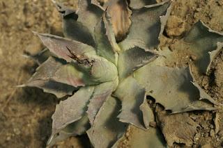 Agave potatorum - Agave verschaffeltii - Agave des buveurs