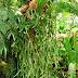 Staghorn Fern (Platycerium) Picture
