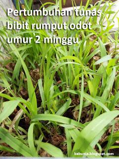 pertumbuhan tunas rumput odot umur 2 minggu