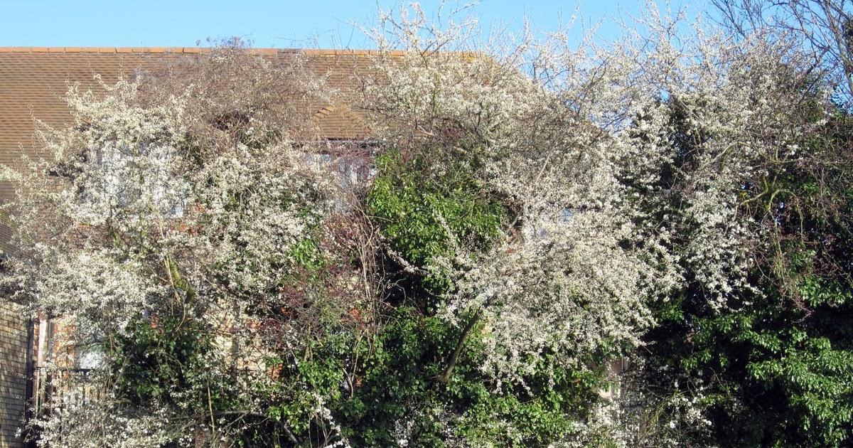Blackthorn Bush Grow Naturally In South U S