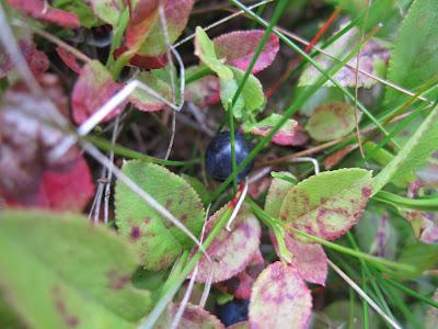 Vaccinium uliginosum - Bog Bilberry