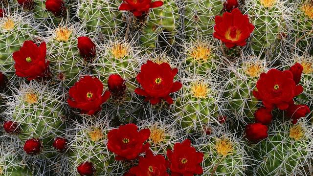 cactus_flower_blooms_buds_needles_33934_1366x768.jpg