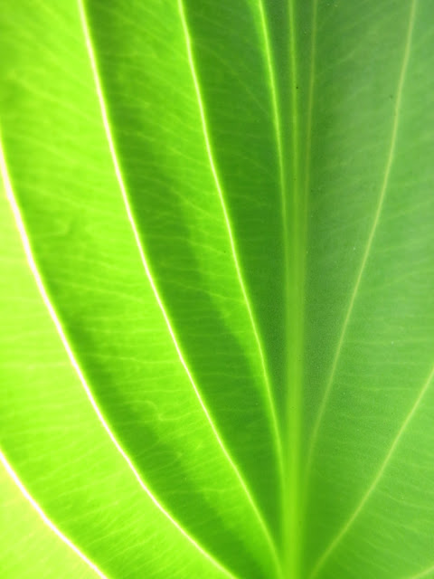Light shining through a new and upright hosta leaf.