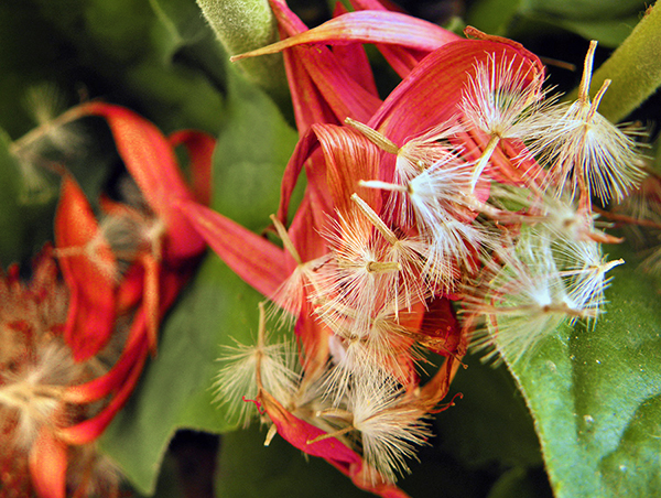 Group of Faded Petals and Seeds on Gerbera Leaves