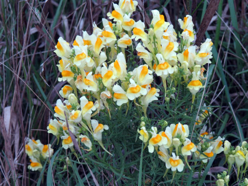 toadflax, butter and eggs