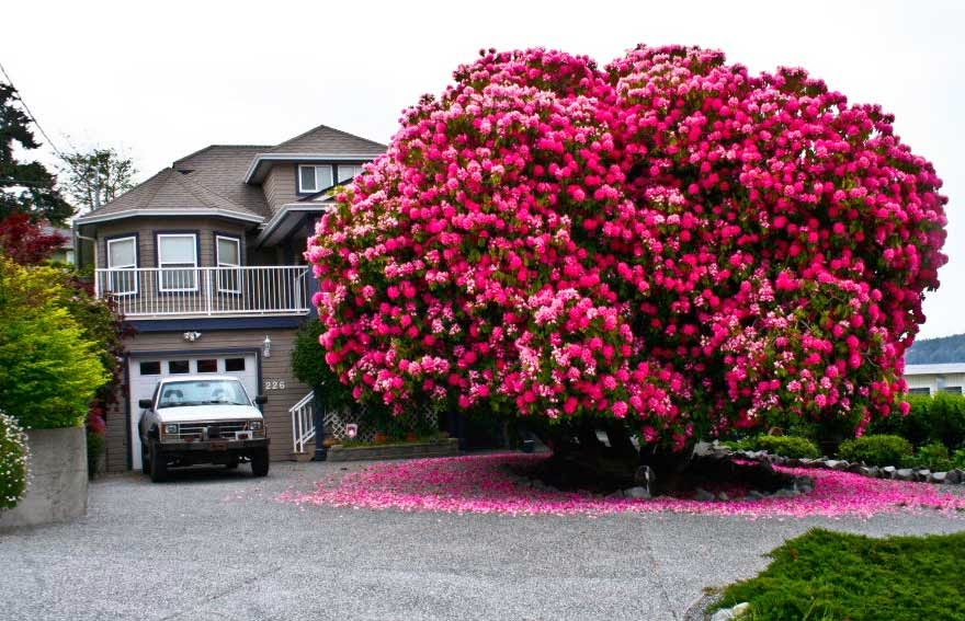 #1. The 125-year-old Rhododendron - 16 Of The Most Magnificent Trees In The World.