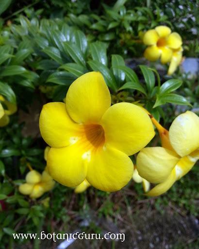 Allamanda oenotherifolia, Bush Allamanda flower and leaves