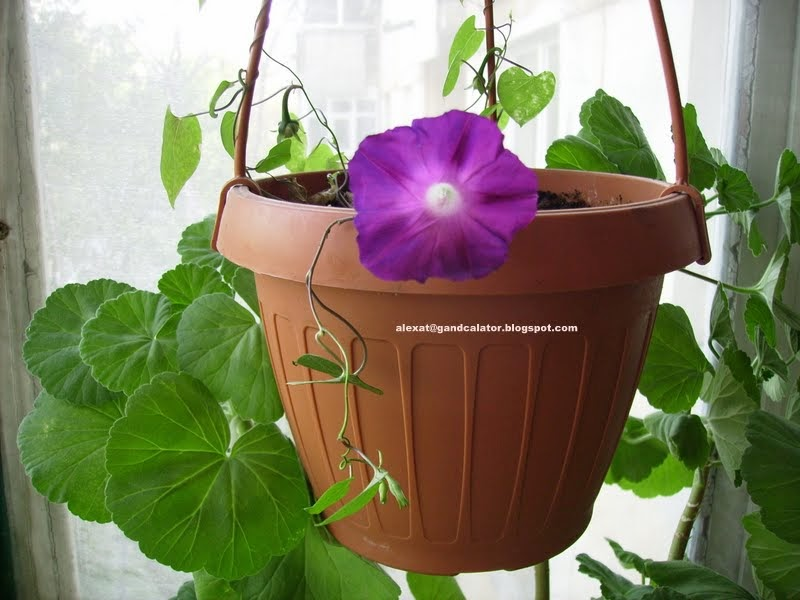 Zorea violeta/ Purple Morning Glory