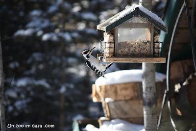 Picot garser pilós (Leuconotopicus villosus) en bonica menjador de sèu i llavors