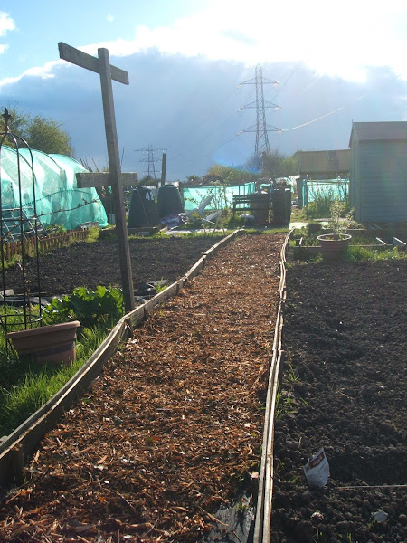 evening sunshine on our woodchip path on the allotment